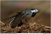 White Wagtail - Stretching White Wagtail