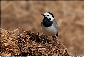 White Wagtail - White Wagtail on a dung heap