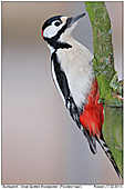 Great Spotted Woodpecker - Great Spotted Woodpecker