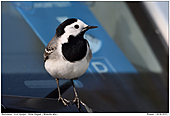 White Wagtail - White Wagtail On A Car