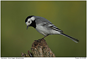 White Wagtail - Male White Wagtail