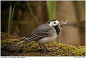 White Wagtail - Nesting materials