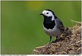 White Wagtail - White Wagtail