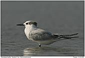 Sandwich Tern - Sandwich Tern