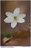 Wood Anemone - Wood Anemone