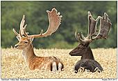 Fallow Deer - Fallow Dears
