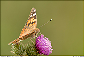 Painted Lady - Painted Lady