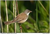 Whitethroat - Whitethroat with food