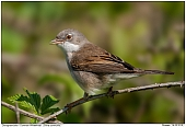 Common Whitethroat - Common Whitethroat