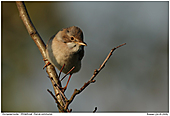 Whitethroat - Whitethroat