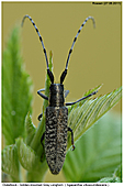 Golden-bloomed Grey Longhorn - Golden-bloomed Grey Longhorn
