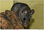 Spiny Mouse - Acomys cahirinus cahirinus - Spiny Mouse - Acomys cahirinus cahirinus