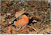 Dullfinch - Bullfinch