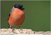 Bullfinch - Male Bullfinch