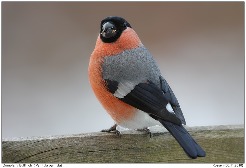 bullfinch photos digital nature photography photo bullfinch images image pics. Black Bedroom Furniture Sets. Home Design Ideas