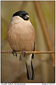 Bullfinch - Female Bullfinch
