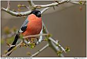 Bullfinch - Bullfinch