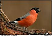Bullfinch - Feathered Legs