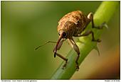 Acorn Weevil - Acorn Weevil
