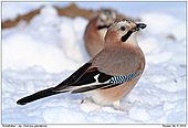 Jay - Jay In The Snow