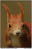 Red Squirrel - Red Squirrel