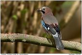 Eurasian Jay - Jay