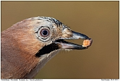 European Jay - Jay with peanut