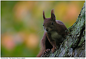 Red Sqirrel - Red Squirrel