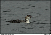 Common Loon - Common Loon