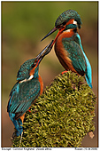 Kingfisher - Couple of Kingfisher