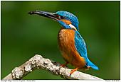 Common Kingfisher - Common Kingfisher