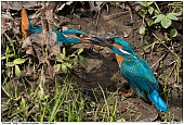 Kingfisher - Fighting Kingfishers