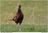Pheasant - Calling Pheasant