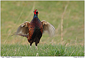 Pheasant - Male Pheasant (calling)