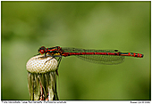 Large Red Damselfly - Large Red Damselfly