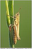 Upland Field Grashopper - Upland Field Grashopper