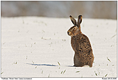 Brown Hare - Brown Hare in the snow