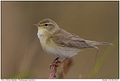 Willow Warbler - Willow Warbler