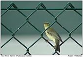 Willow Warbler - In a wire-netting