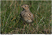 Skylark - Skylark in the gras