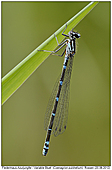 Varibale Damselfly - Female Variable Bluet