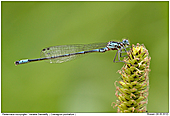 Variable Damselfly - Variable Damselfly