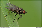 Fly - not identiefied yet - Fly on gras