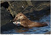 European Otter - European Otter