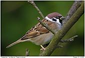 Tree Sparrow - Tree Sparrow