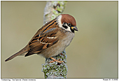 Tree Sparrow - Winter 2009