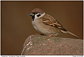 Tree Sparrow - Tree Sparrow On A Rock