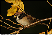 Tree Sparrow - Tree Sparrow With Autumn Colours