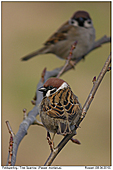 Tree Sparrow - Tree Sparrows