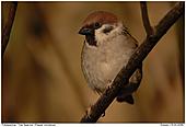 Tree Sparrows - Tree Sparrow